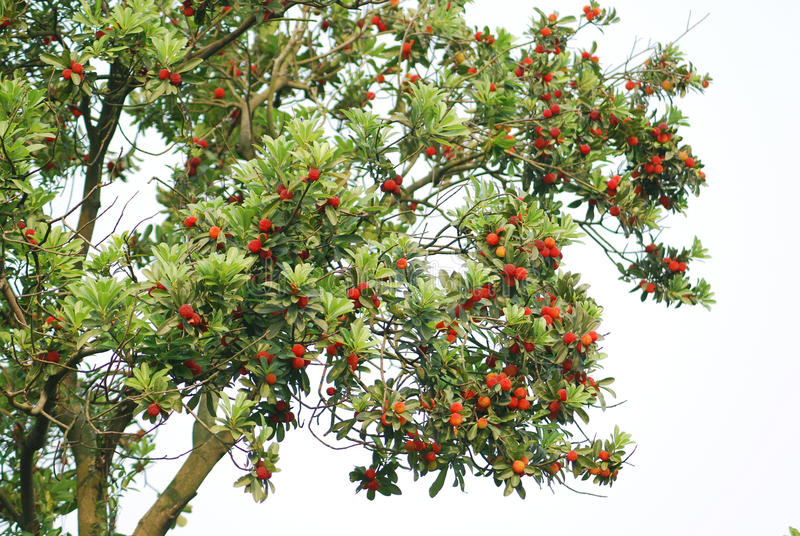 Download Arbutus stock photo. Image of sour, starry, attract, tree - 13095152