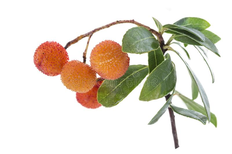Arbutus gałąź i bardzo dojrzała pomarańczowa owoc na białym tle obrazy royalty free