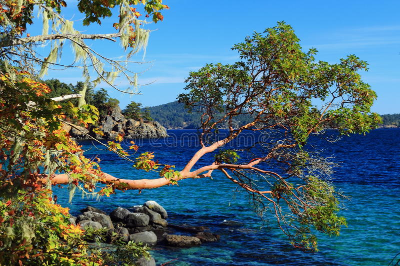 Arbutus Tree over Deep Blue Water at East Sooke Park, Vancouver Island, British Columbia, Canada royalty free stock photography
