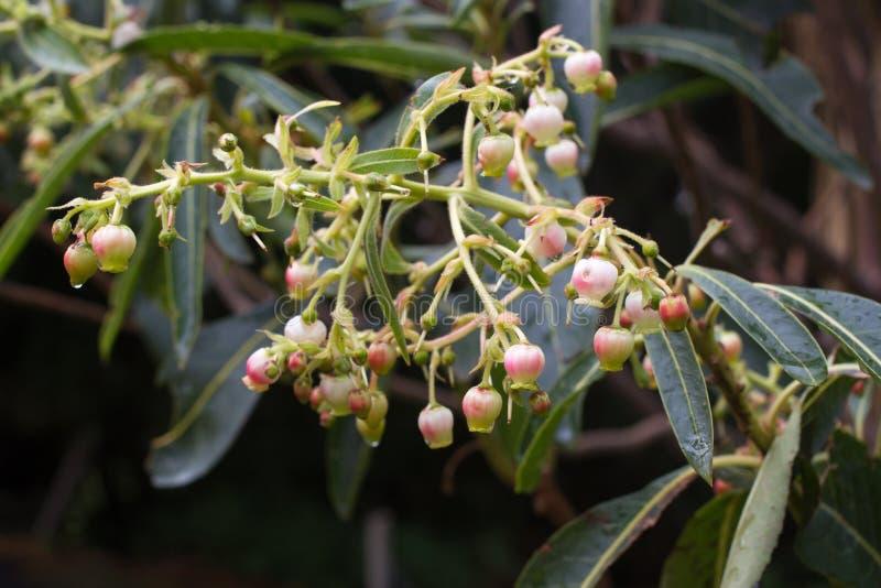 Arbutus Unedo Μικρά λουλούδια δέντρων φραουλών στις συστάδες στοκ εικόνα με δικαίωμα ελεύθερης χρήσης