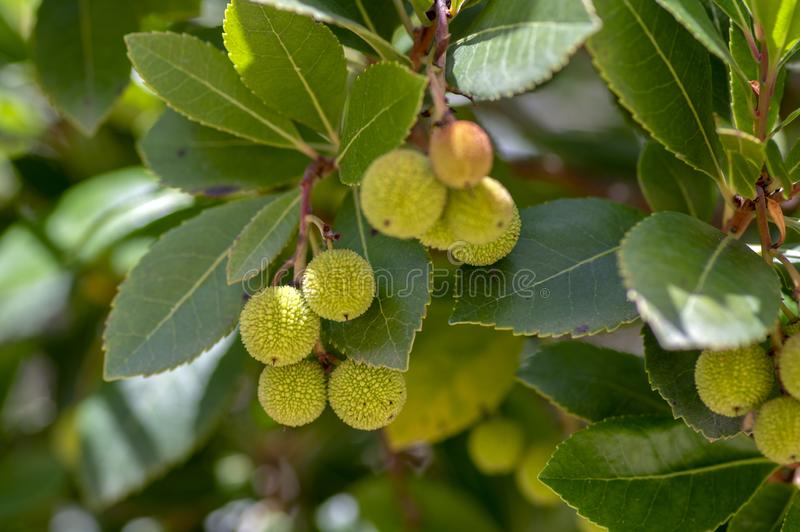 Arbutus unedo evergreen strawberry tree with yellow green unripened fruits, branches with green leaves. Arbutus unedo evergreen strawberry tree with yellow green royalty free stock image