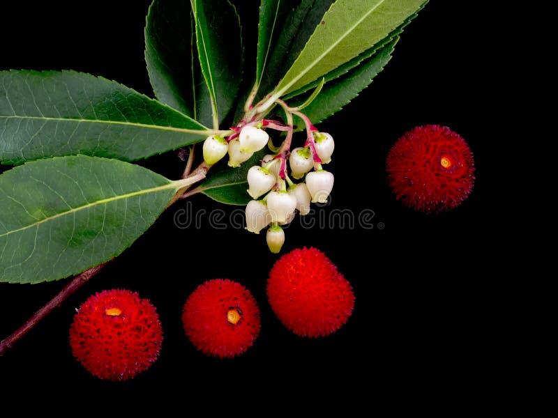 Arbutus unedo selvaggio - fiori e frutta sul nero Aka fragola fotografia stock libera da diritti