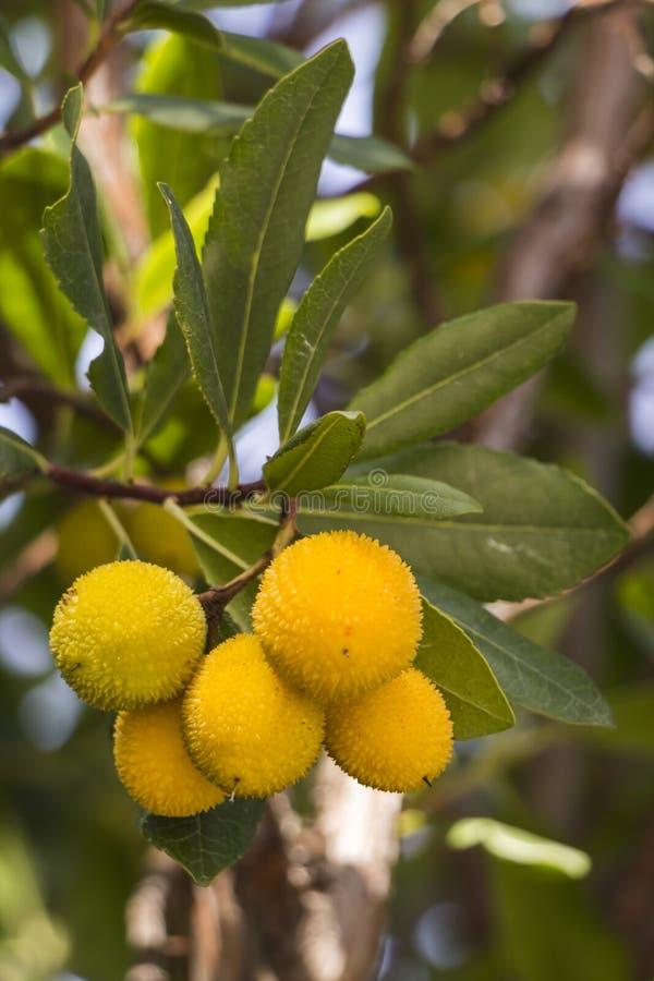 Arbutusfrukter fotografering för bildbyråer