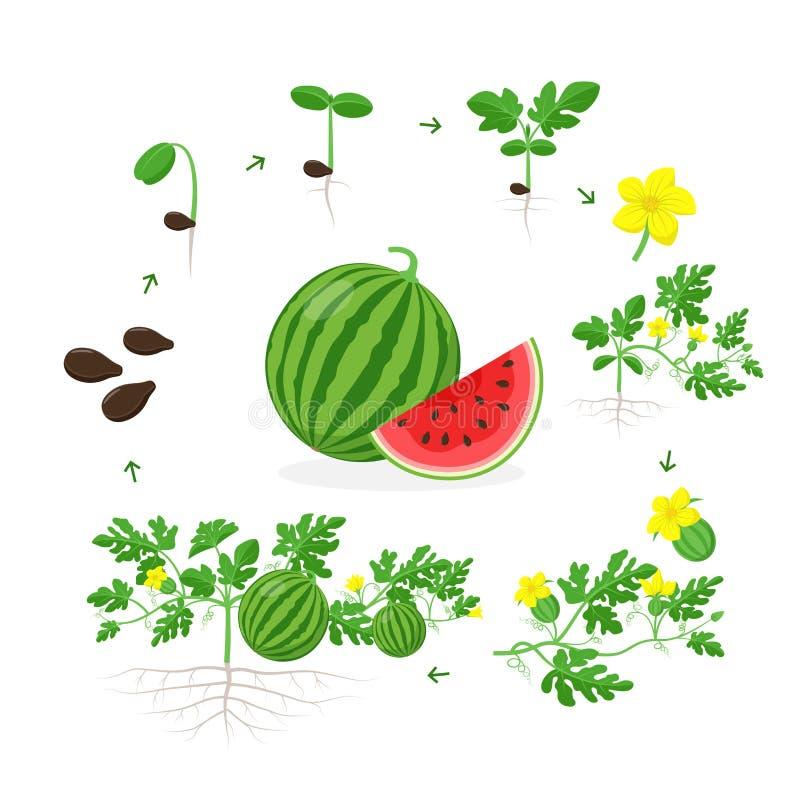 Arbuz rośliny przyrosta sceny od ziarna, rozsady, flancy, kwiecenia i dojrzałej owoc na dojrzałej roślinie z korzeniami, royalty ilustracja