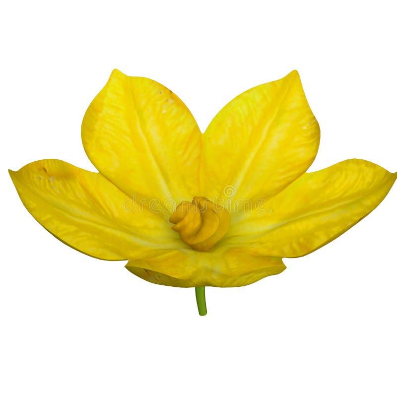 Arbuza kwiat zdjęcie royalty free