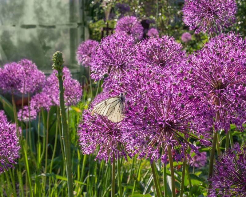 Arc décoratif, ou allium Usines de floraison avec les inflorescences sphériques, primevère de primevère de ressort finement denté images libres de droits