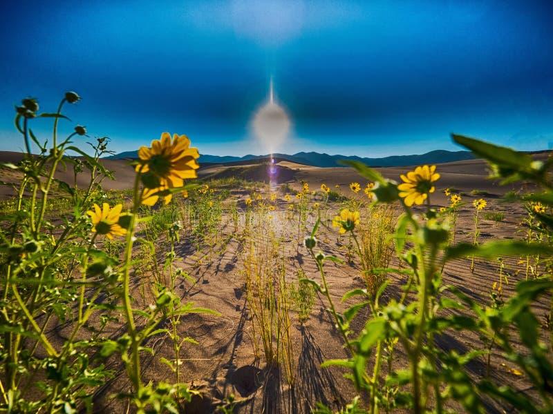 Arc de tournesols vers le Soleil Levant en grand parc national de dunes de sable images libres de droits