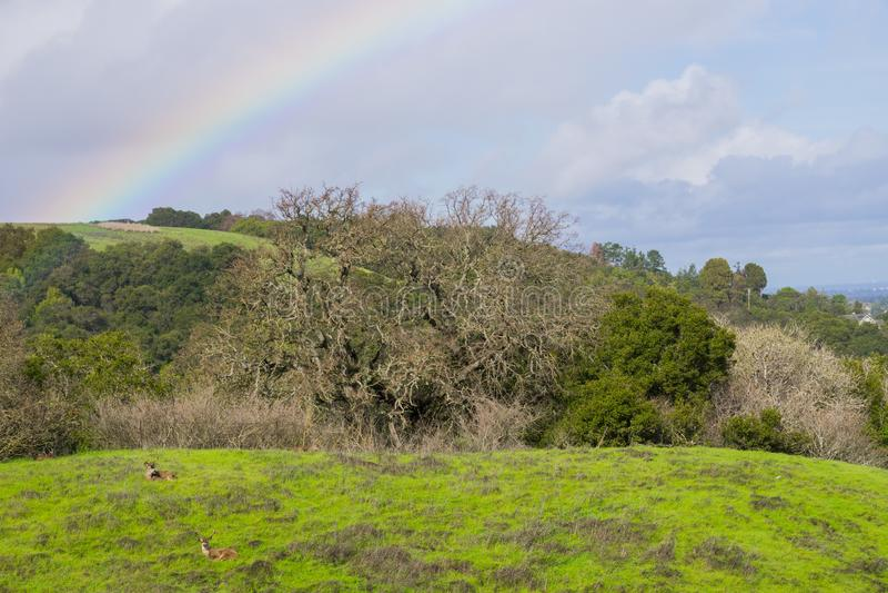 Arc-en-ciel après une pluie légère et un cerf commun se reposant sur les collines du parc du comté de Rancho San Antonio, San Fra image stock