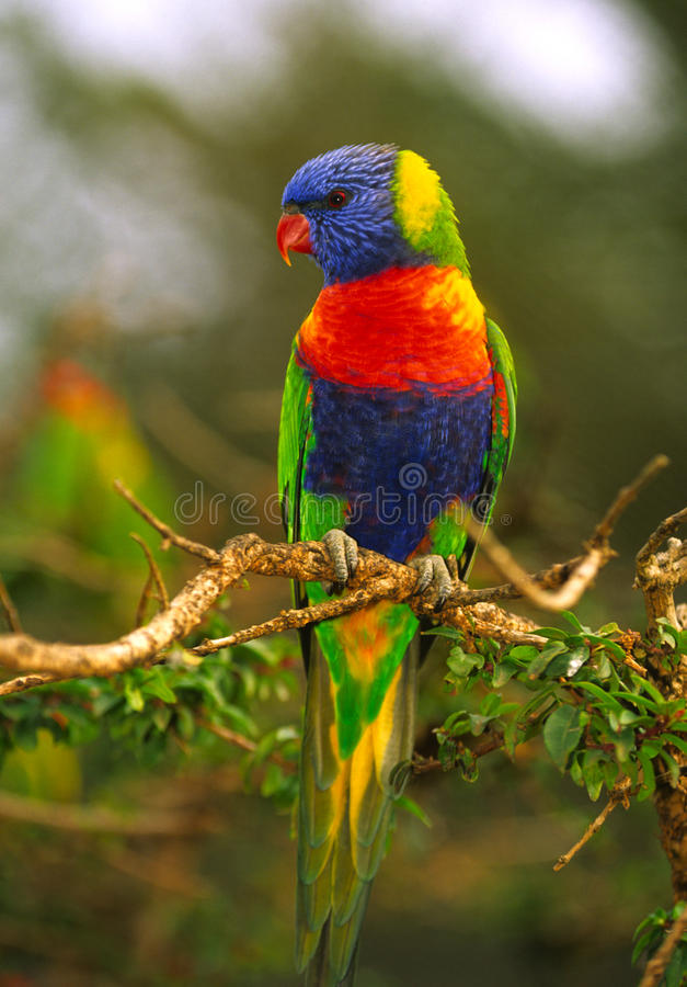 Arc-en-ciel Lorikeet images stock