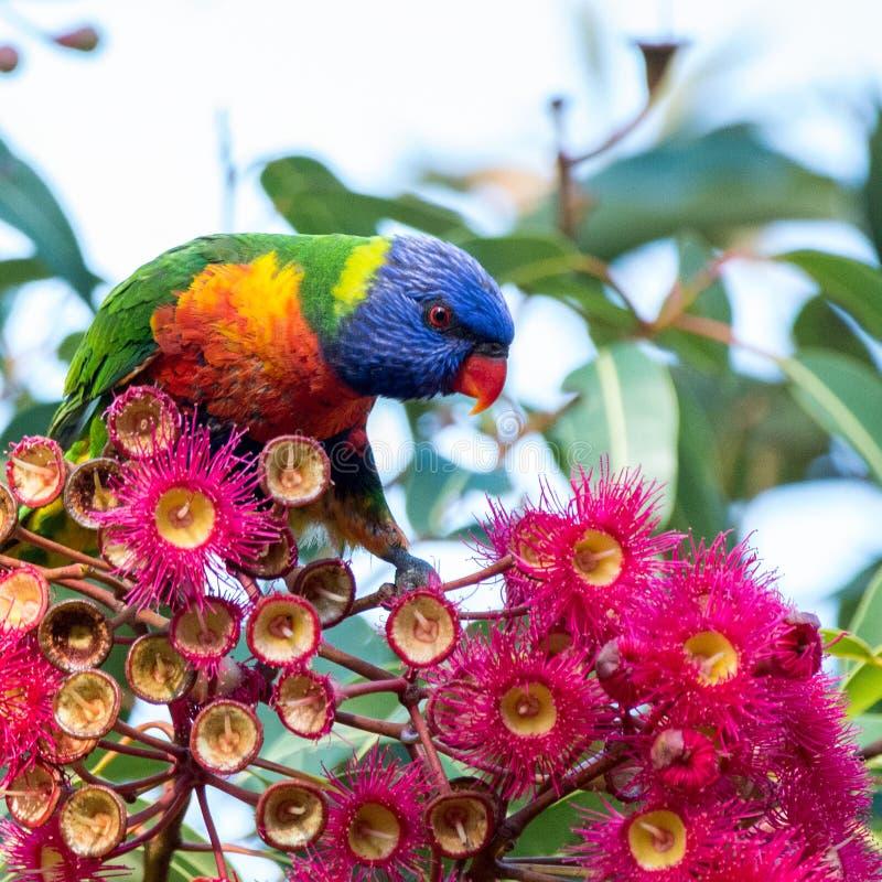Arc-en-ciel Lorikeet appréciant des fleurs d'eucalyptus photos stock