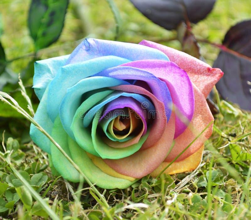 Arc-en-ciel Rose image stock