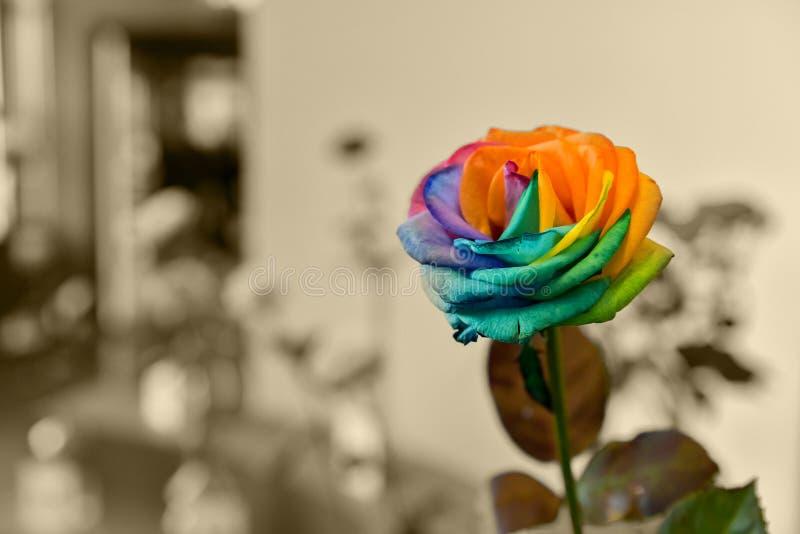Arc-en-ciel Rose photo stock