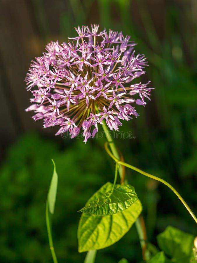 arc pourpre de fleur photographie stock