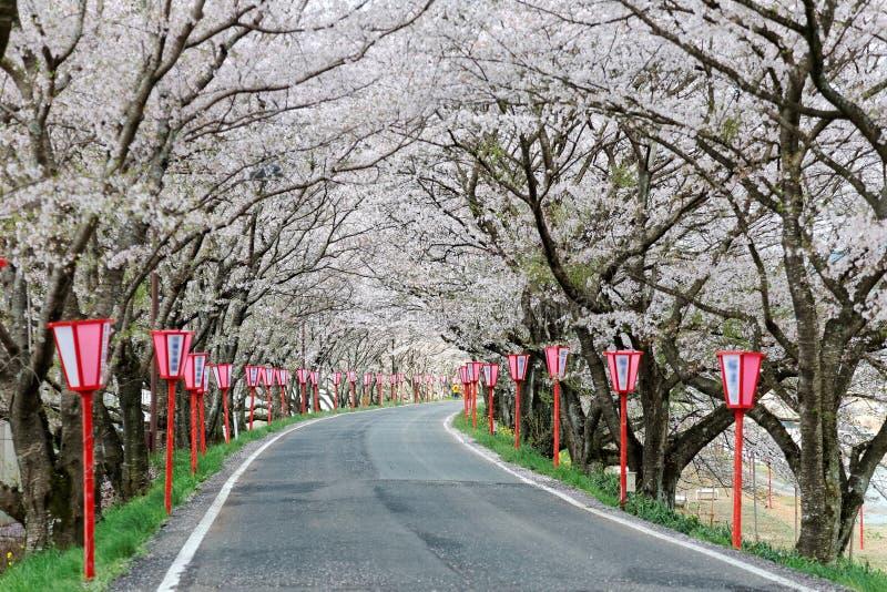 Arcada romântica das flores da árvore de cereja (Sakura) e de cargos cor-de-rosa da lâmpada do estilo japonês ao longo de uma est fotos de stock royalty free