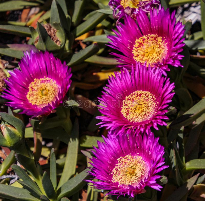 Hottentot Fig. Arcadia, California, USA; April 24, 2019.  Colorful spring blooms and landscapes showcased at the Los Angeles County Arboretum stock image