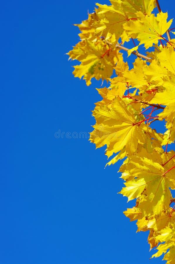 Arce amarillo imágenes de archivo libres de regalías