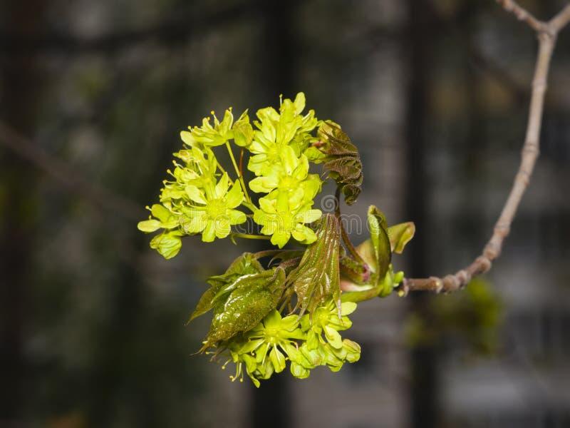 Arce de Noruega floreciente, platanoides de Acer, flores con la macro borrosa del fondo, DOF bajo, foco selectivo fotos de archivo libres de regalías