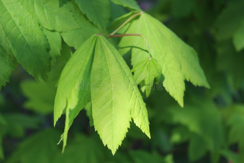 Arce de vid verde fresco en mayo fotos de archivo