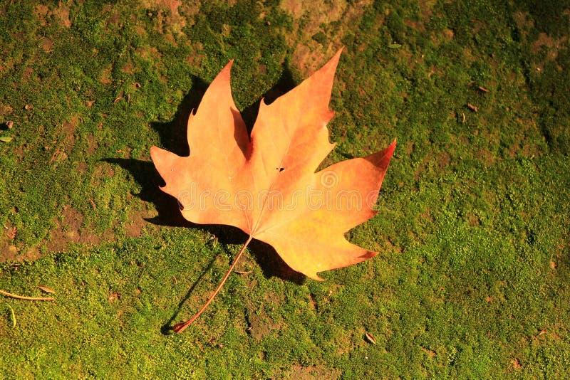 Arce del otoño imágenes de archivo libres de regalías