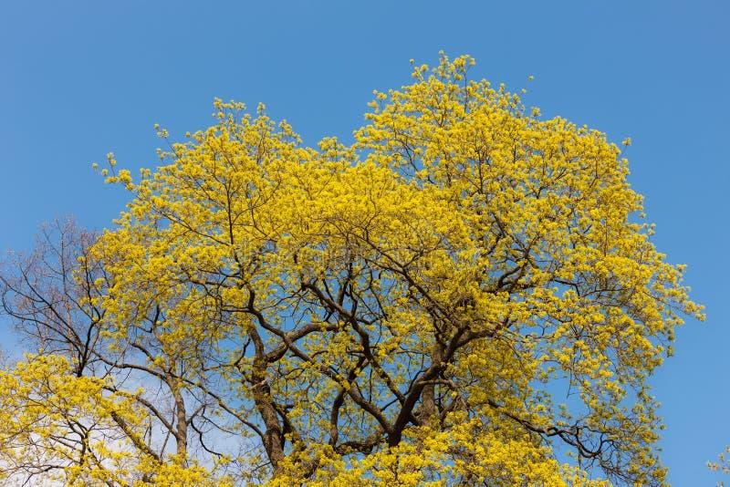 Arce floreciente en primavera foto de archivo libre de regalías