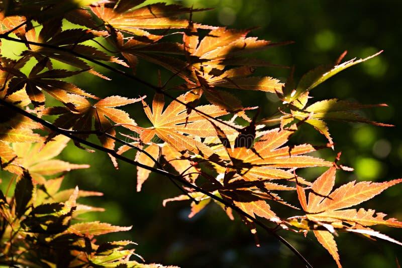 Download Arce japonés imagen de archivo. Imagen de daylight, acer - 42445975