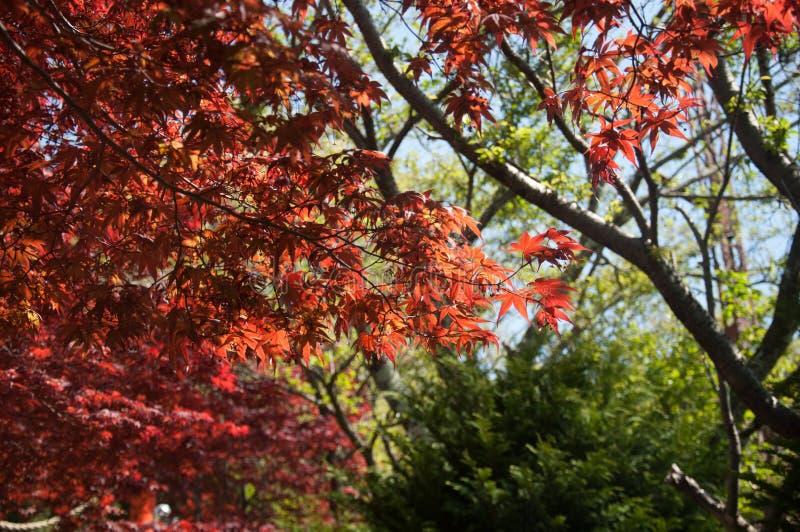 Arce rojo con la imagen completa del árbol fotografía de archivo