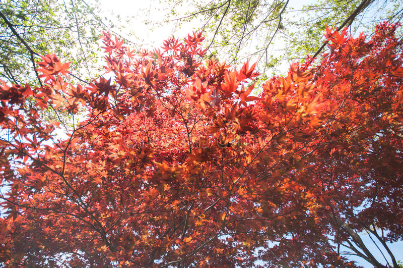 Arce rojo con la imagen completa del árbol foto de archivo libre de regalías