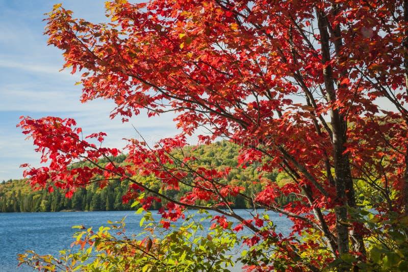 Arce rojo en orilla del lago fotos de archivo