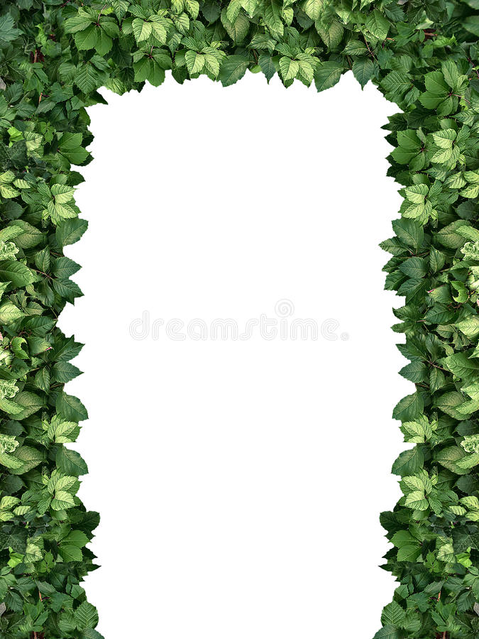Arch of climbing green plant isolated on white background stock photography