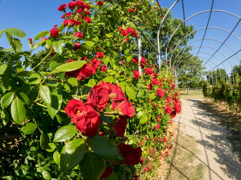 Arch covered with red roses in the garden. Park with beautiful rose flowers royalty free stock image