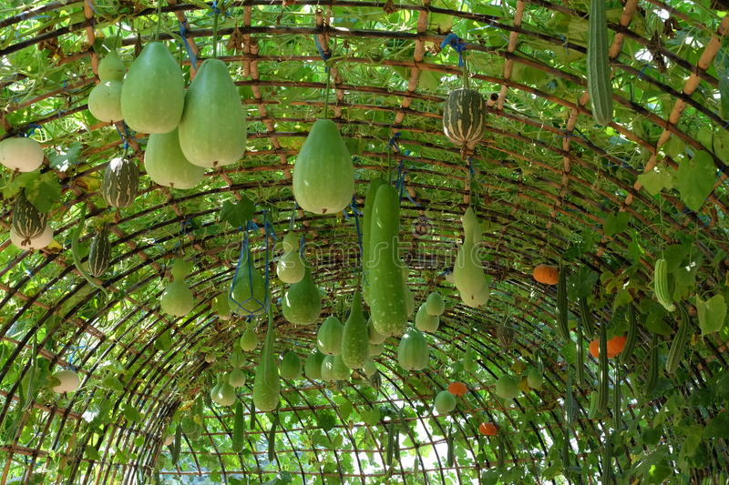 Arch of vegetables, arch of melon, marrow, Loofah stock photo