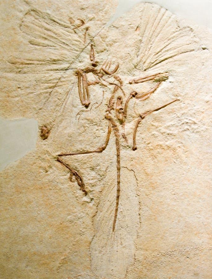 Archaeopteryx royalty-vrije stock afbeeldingen