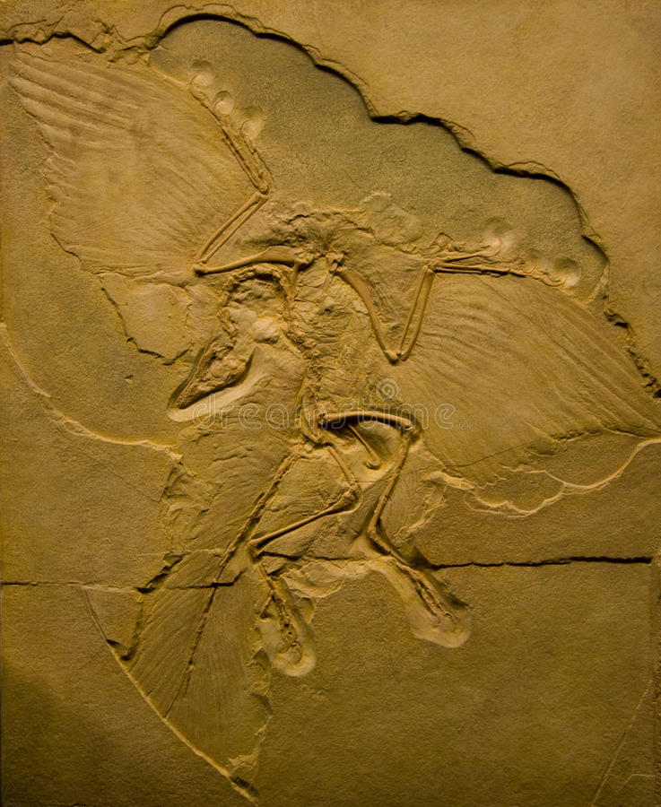 Free Archaeopteryx Fossil Royalty Free Stock Photo - 21926775