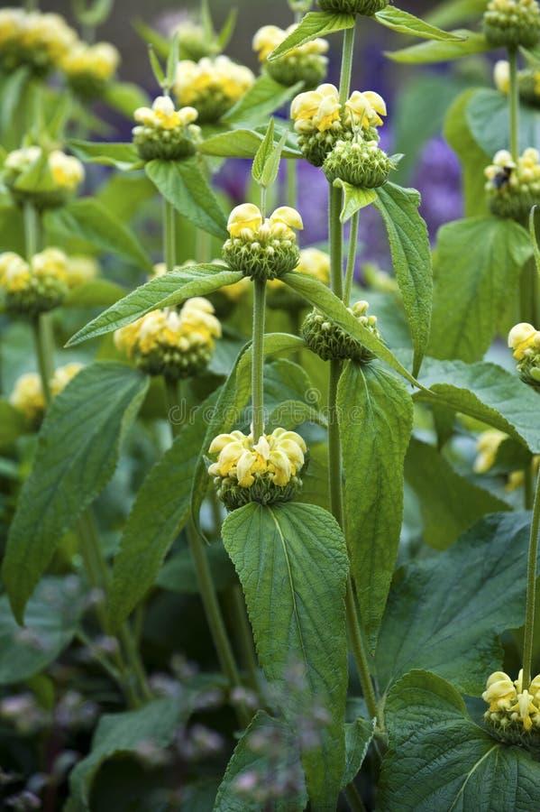 Archange jaune (galeobdolon de Lamium) photo stock