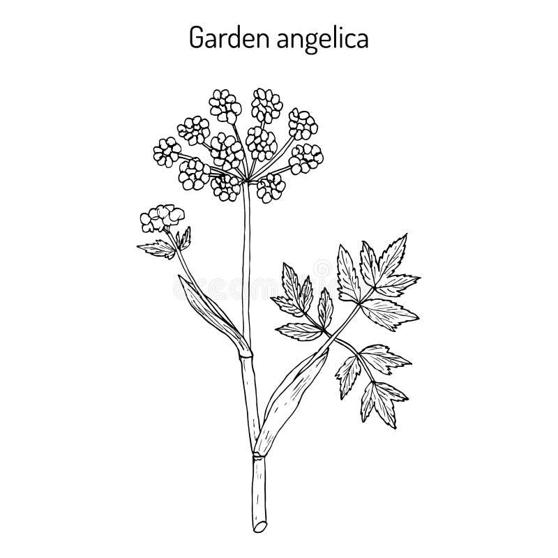 Archangelica de la angélica de la angélica de jardín, o apio salvaje ilustración del vector
