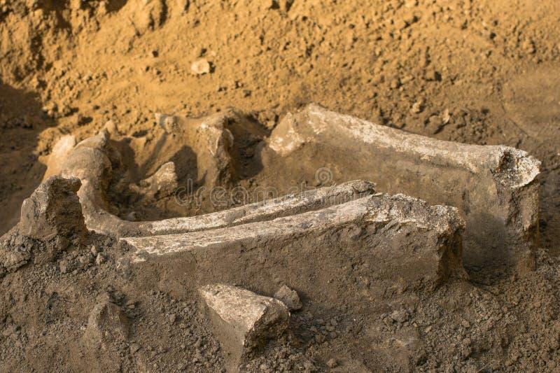 Archeologiczne ekskawacje i znalezisko kości kościec w ludzkim pogrzebie, szczegół antyczny badanie, prehistoria zdjęcie stock