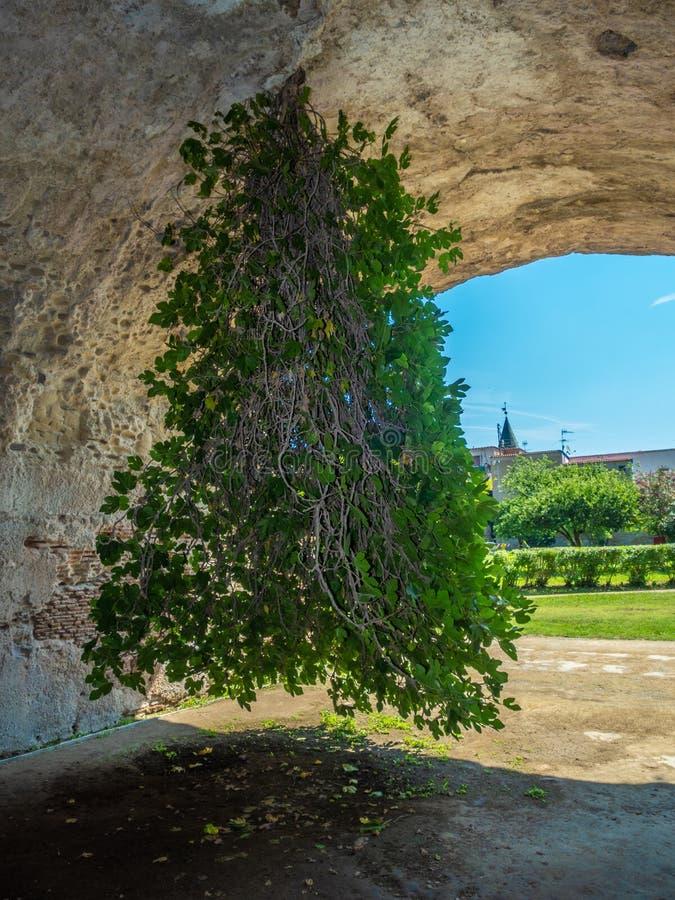 Archeologiczny park Baia, Do góry nogami figi drzewo zdjęcie stock