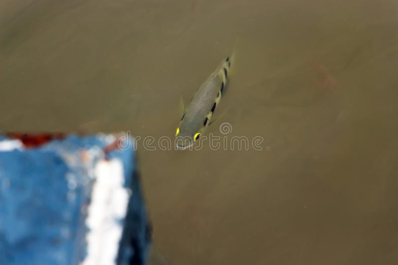 Archer fish are swimming on the surface of the Chao Phraya River. Archer fish are swimming on the surface of the Chao Phraya River in Thailand royalty free stock photo