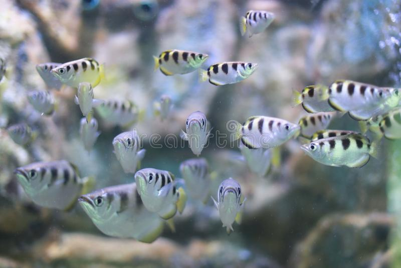 Archerfish fotografía de archivo libre de regalías