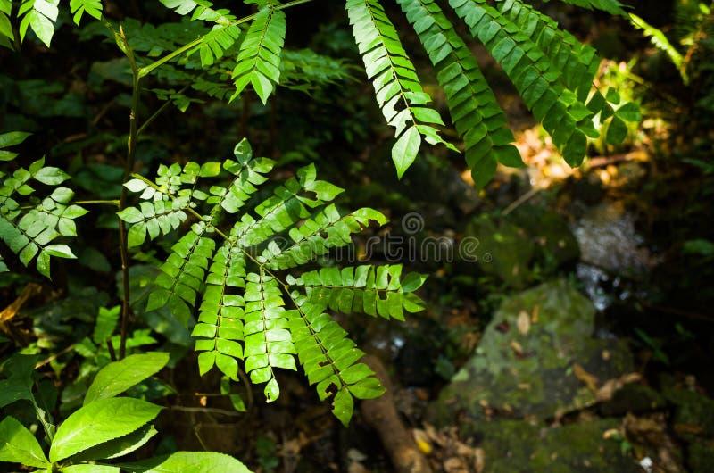 Archidendron clypearia royaltyfri bild
