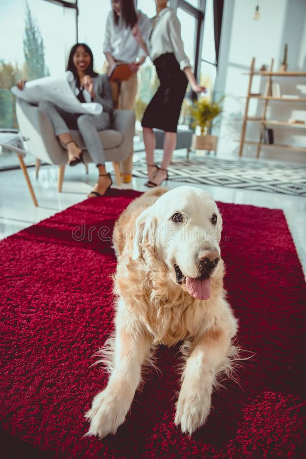 architects in formal wear working with blueprint while dog lying on carpet royalty free stock images