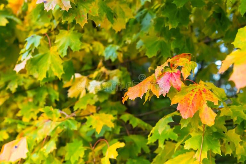 Architettura floreale gialla rossa delle foglie di acero del pæsaggio basso soleggiato luminoso di autunno sulla cartolina confus immagini stock