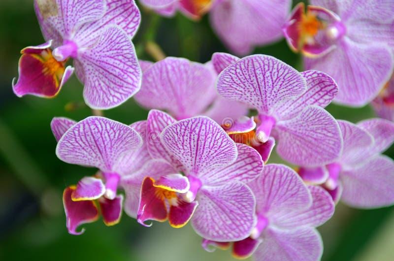 Archivbild der Orchideenblume in der Nahaufnahme lizenzfreies stockbild