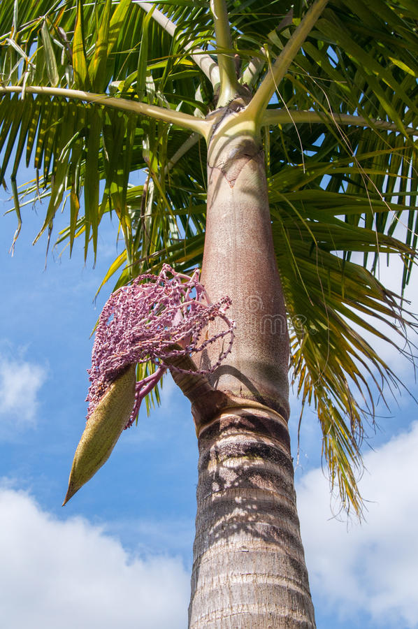 Archontophoenix alexandrae flower. A king palm 'Archontophoenix alexandrae' beginning to flower, Auckland, New Zealand royalty free stock photo