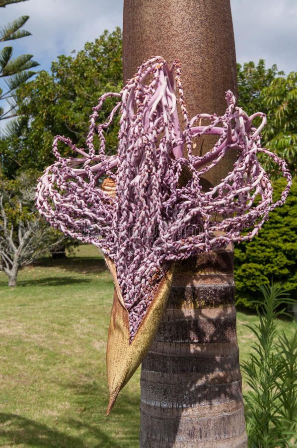 Archontophoenix alexandrae flower. A king palm 'Archontophoenix alexandrae' beginning to flower, Auckland, New Zealand stock photos