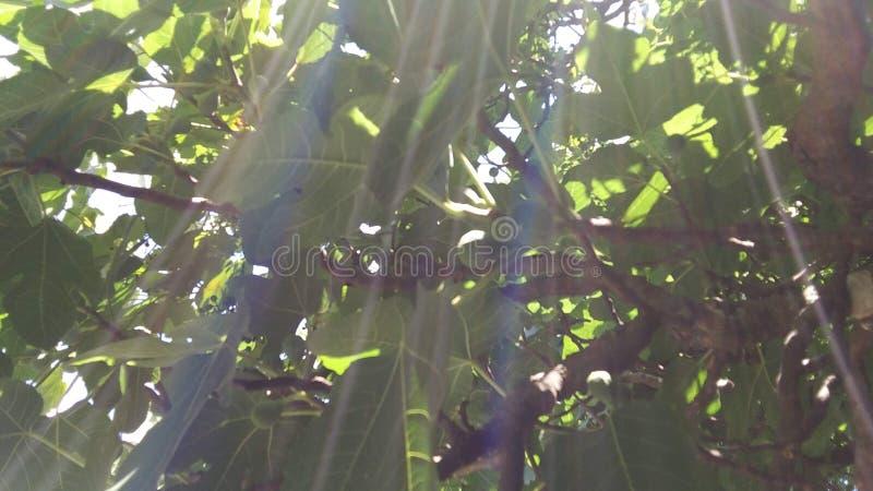Arco-íris da árvore de figo fotografia de stock
