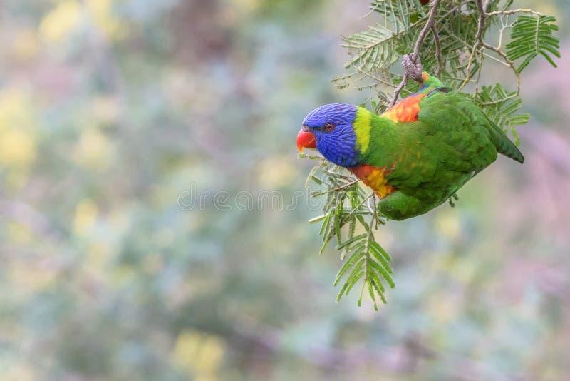 Arco-íris Lorikeet& do pássaro que pendura do ramo com fundo pastel sutil imagens de stock