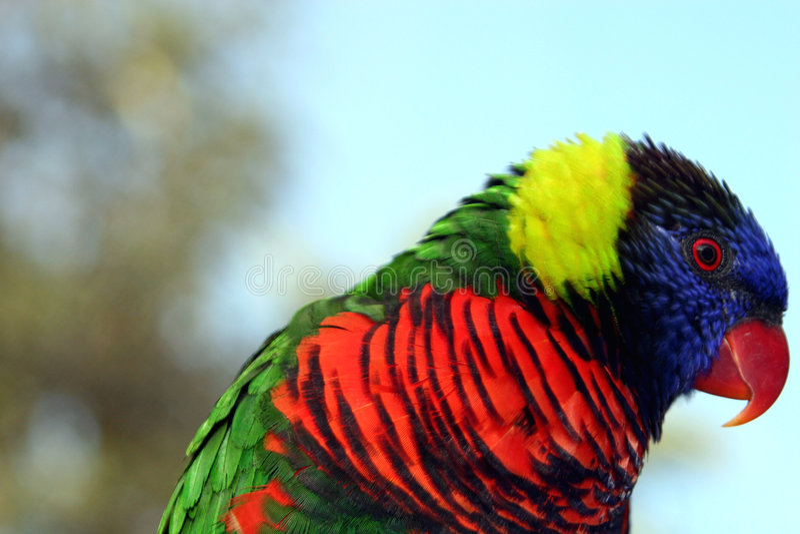Arco-íris Vermelho-Beaked Lorikeet Imagem de Stock