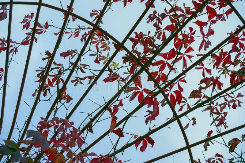 Arco del metal de ramas torcidas trenzadas con las hojas rojas Fondo gráfico natural Concepto de caída de la hoja, otoño, estació imagen de archivo