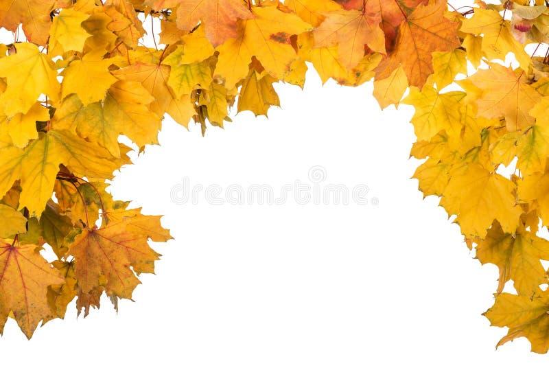 Arco della foglia di acero luminosa di autunno isolata su bianco fotografia stock